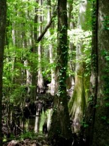 CongareeSwamp